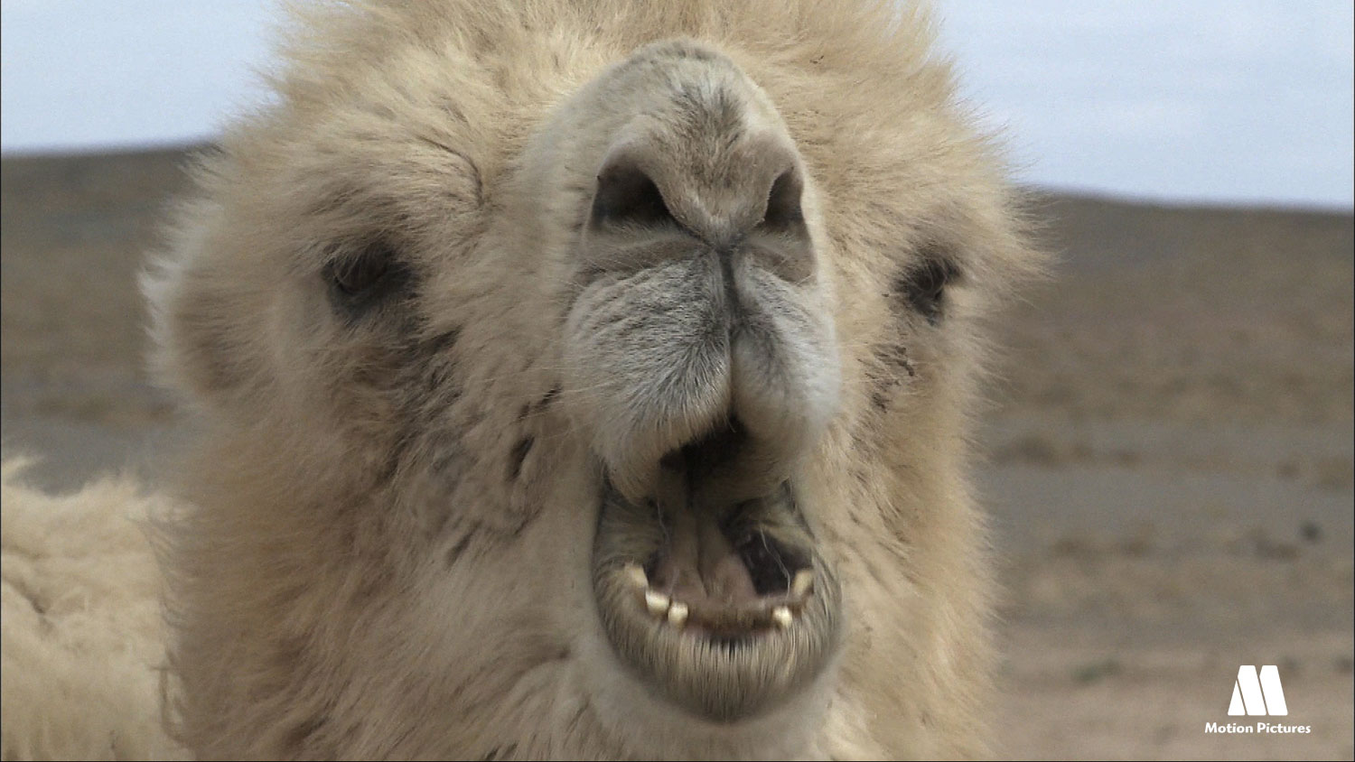 camello blanco cabeza, documentary changantime, the white camel, documetal changantime, el camello blanco