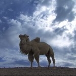 camello blanco ocn cielo azul, documentary changantime, the white camel, documetal changantime, el camello blanco