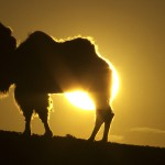 camello puesta de sol, documentary changantime, the white camel, documetal changantime, el camello blanco