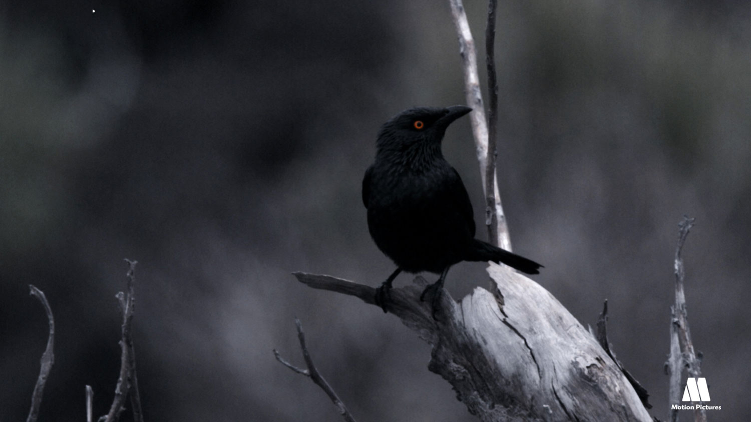 pajaro negro, documentary ash runners, documental habitantes del volcan
