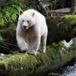 documentary searching for the ghost bear, documental buscnado al oso fantasma